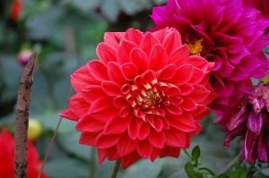 Picture of Red Dahlia Flower in nature