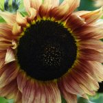 Unique Sunflower Picture in 4K for Nature Wallpaper
