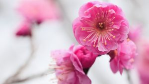 Free Download of Shade Pink Cherry Flower Picture in HD for Wallpaper