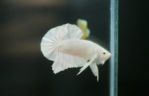 Albino Betta Fish Picture (7)