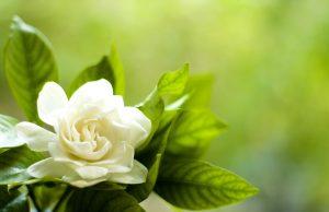 Flowers that look like roses - Gardenia Flower