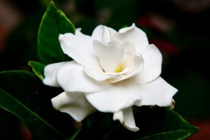 Flowers that look like roses - White Gardenia Flower