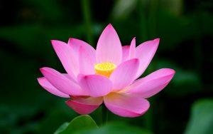Artistic Lotus Flower Wallpaper in High Resolution
