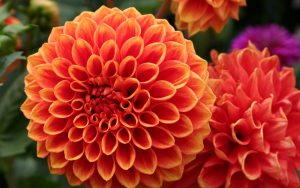 Orange Flowered Wallpaper with Dahlia Flower