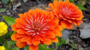 Orange Flowered Wallpaper with Zinnia Flower