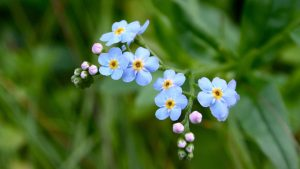 Tiny Flower Wallpaper with Forget Me Not Flower
