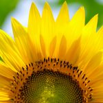 Yellow Flowered Wallpaper with Sunflower