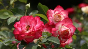 Close Up Live Pictures Of Red Roses in Garden