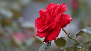 Picture of Wet Red Rose After Rain