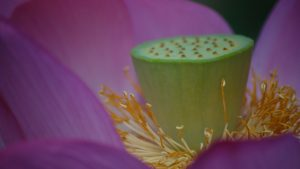 Macro Photo Flower Wallpaper with Pink Lotus in Close Up