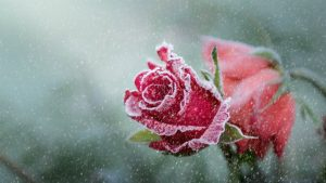 Top 25 Pictures Of Red Roses - #17 - for Winter Wallpaper