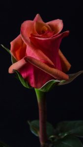 Close Up Photo of Red Rose Flower with Dark Background for Mobile Phone Wallpaper