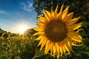 Flower Images Free Download with Sunflower in The Morning