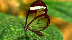 Free Download Close Up Picture of Glasswing Butterfly for Wallpaper