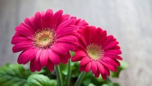 Best HD Wallpapers for Laptop 1080p with Pink Daisy Flower Images
