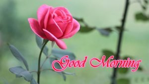 Romantic good morning images with rose flower