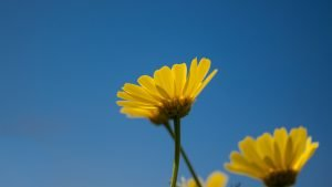 4K Picture of Yellow Daisy Flower During Daytime