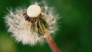 Beautiful Nature Wallpaper Big Size #35 – 4K Close-Up Picture of Dandelion