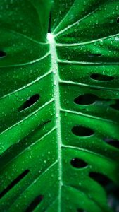 Close-Up Photo of Wet Monstera Leaf for Smartphone Background