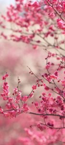 Cool Phone Wallpapers for Xiaomi Redmi Note 9 Pro 5G – 05 Pink Cherry Blossoms