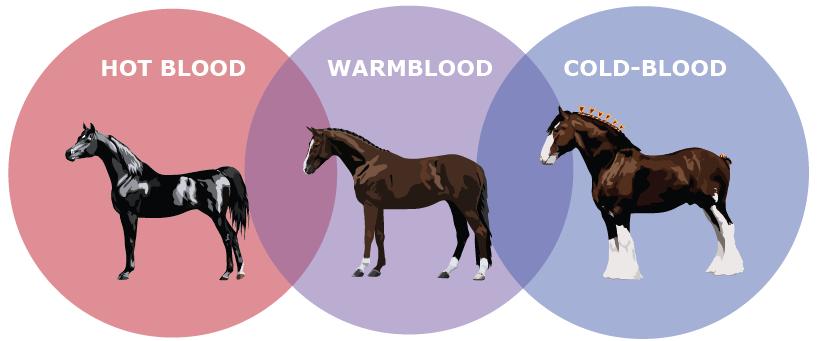 Warmblood Graphic