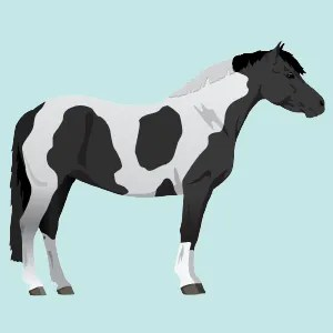 Piebald horse color