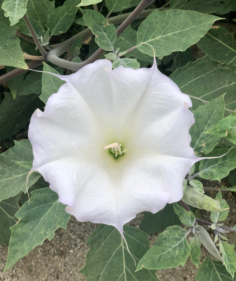 white flower that looks like a georgia o'keeffe painting