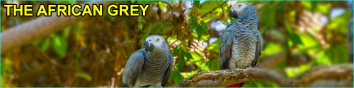 Conga african grey parrot sitting on a tree with african grey word