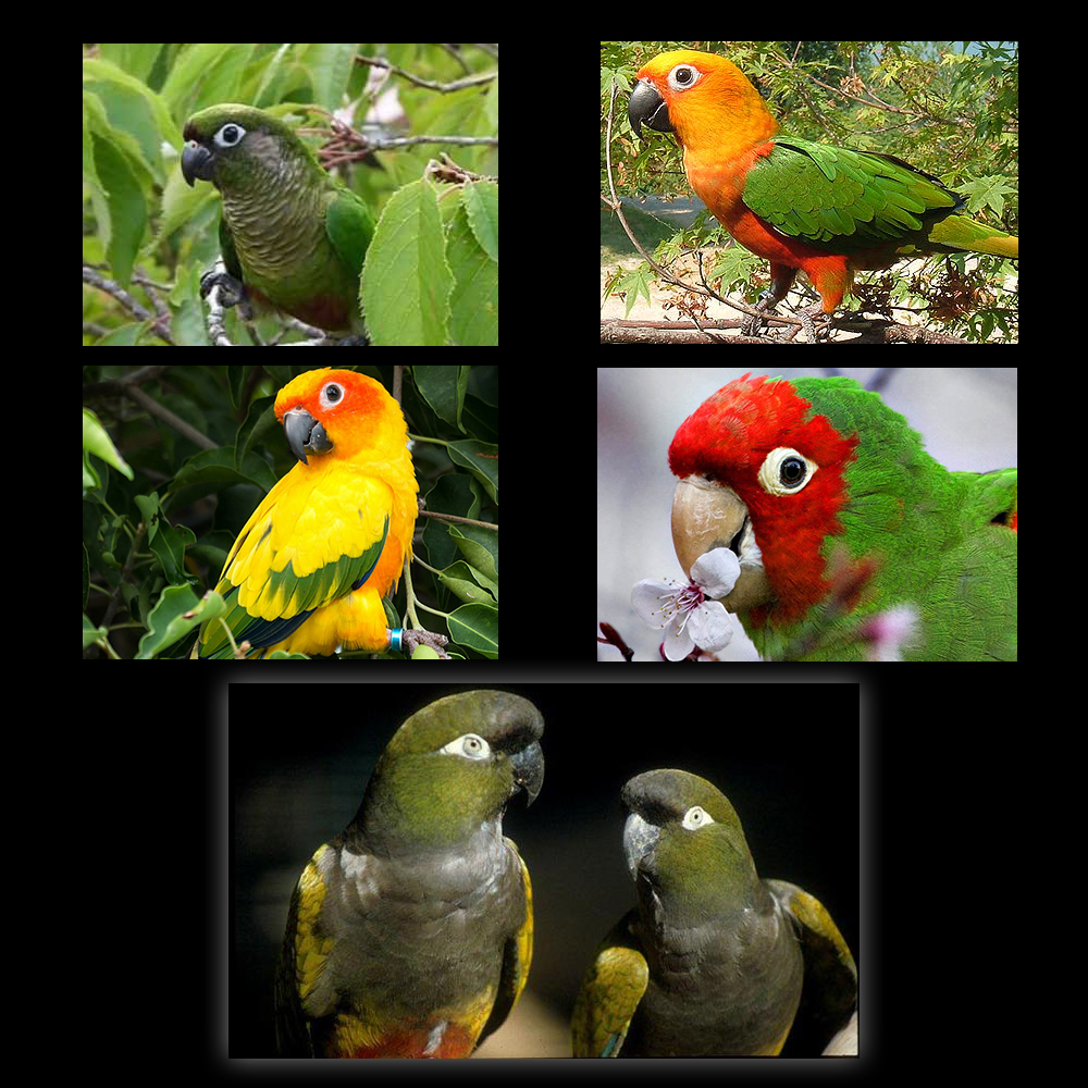 Conure - All Star Parrots Rescue and Rehoming  Read about