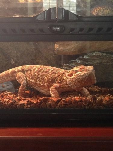 Big Baby Bubba the Bearded Dragon