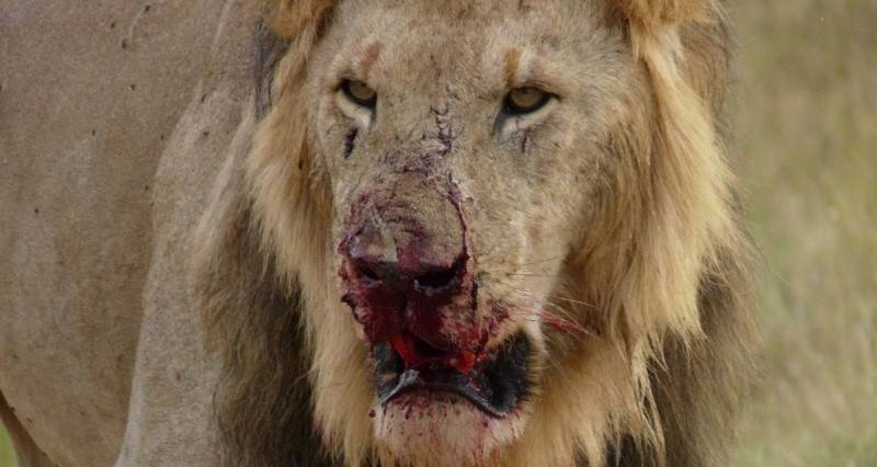 Leone sanguinante