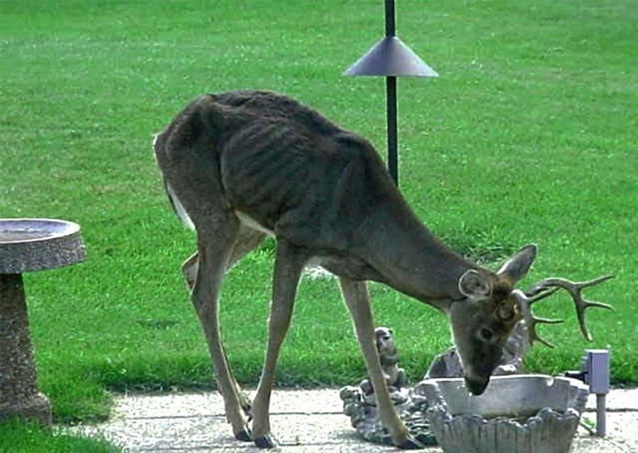 Cwd Deer Drinking