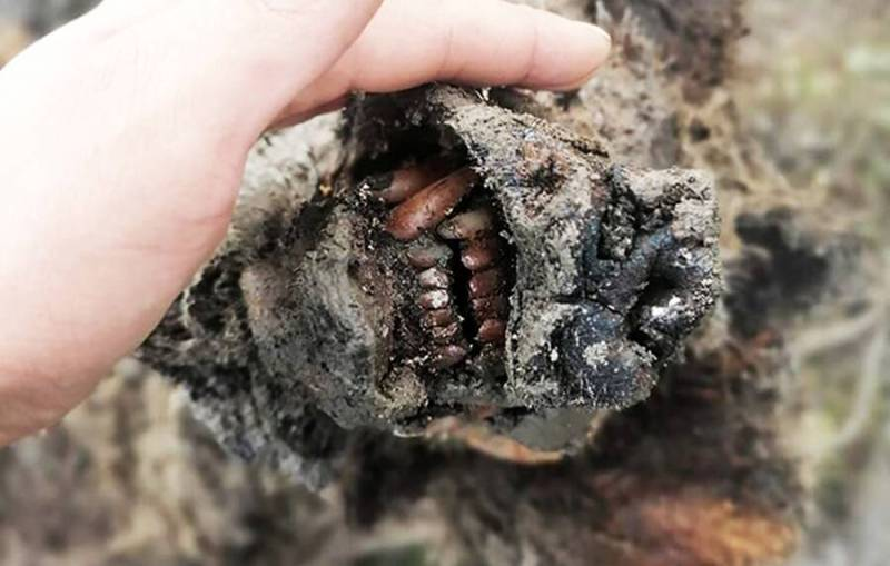 Teeth Of A Mummified Cave Bear