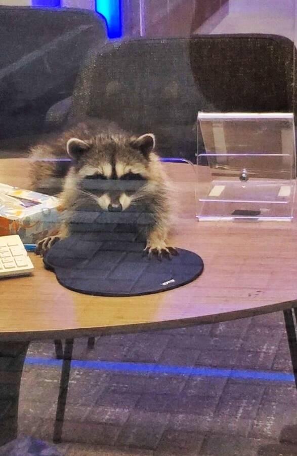 Raccoon On Office Desk