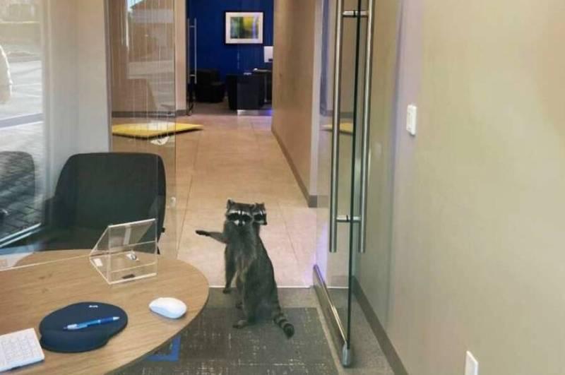 Raccoons Inside Bank