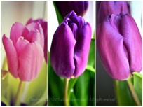 purpletulips1