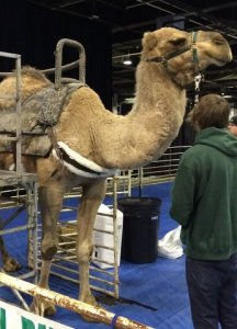 A camel and the back of a boy facing it