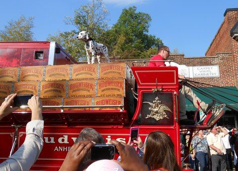 A Dalmatian puppy reports for duty atop the Budweiser wagon.