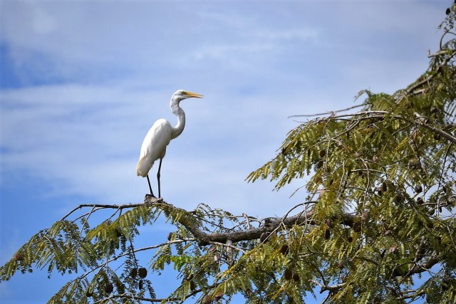 A snow egret perches at the edge of a tree branch