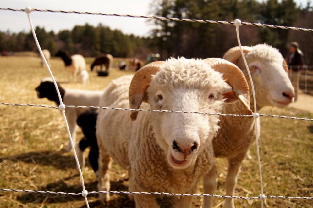 Sheep!