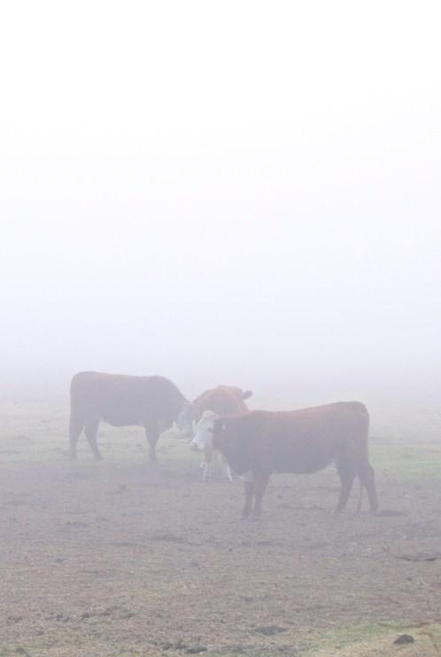 big sur fog cows