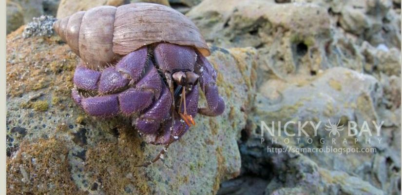 Coenobita lila - a new species of hermit crab announced