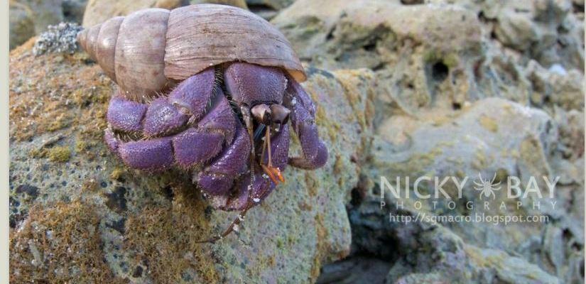Coenobita lila - a new species of hermit crab announced