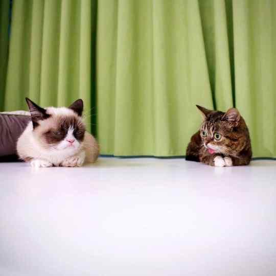 Grumpy-Cat-Tard-Lil-Bub
