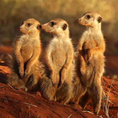 Meerkat is more than just a cute little mammal from Africa
