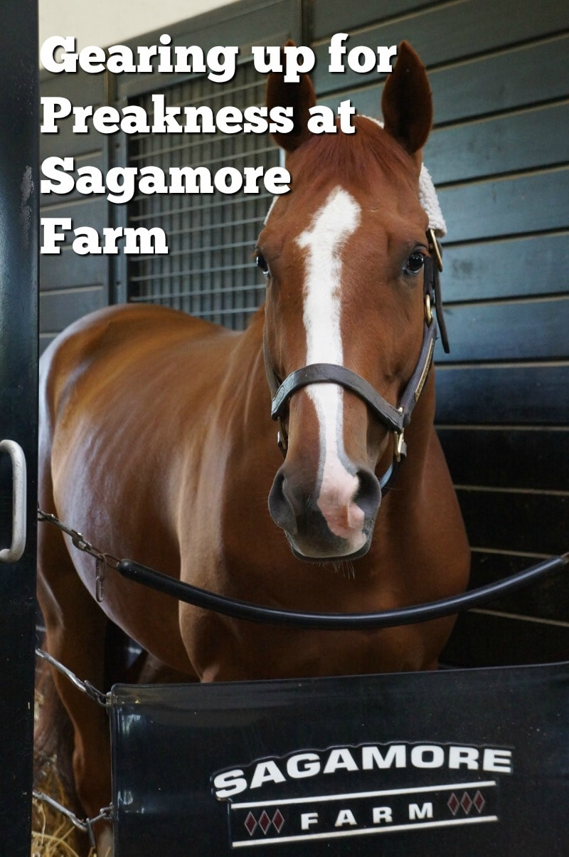 Gearing up for Preakness at Sagamore Farm