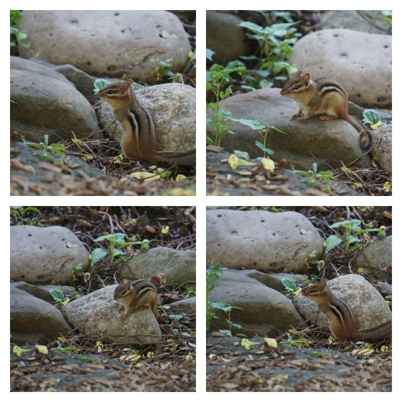 Chipmunks at Hershey Gardens