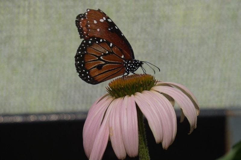 Butterflies at Hershey Gardens