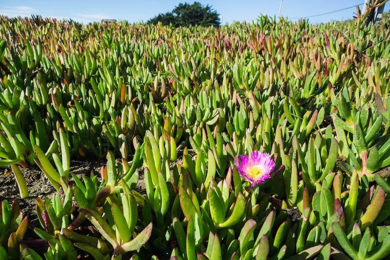 pacific-succulent-plant