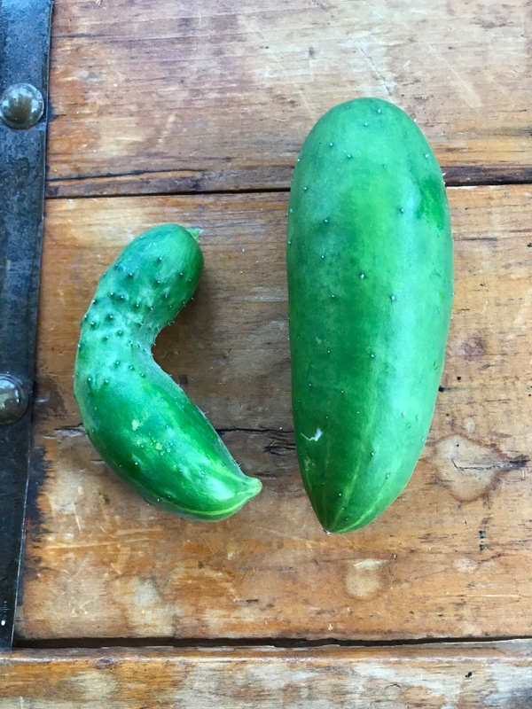 First harvest of cucumbers